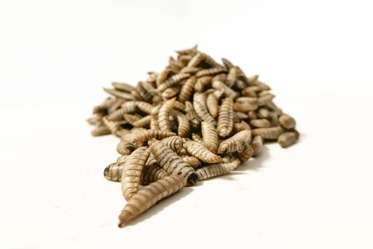 larva_fresca-dadelosagricola.com