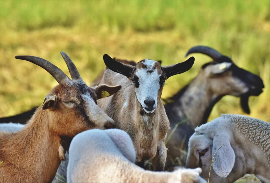 alimentacion-cabras-dadelosagricola.com