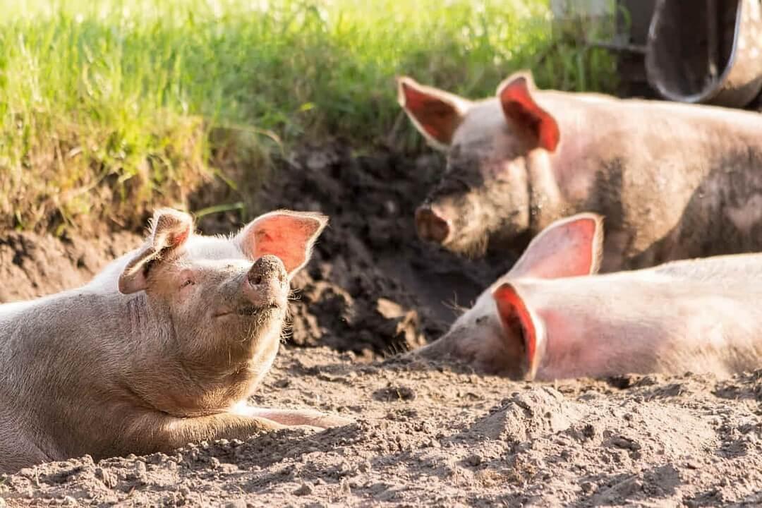 cerdos-dadelosagricola.com