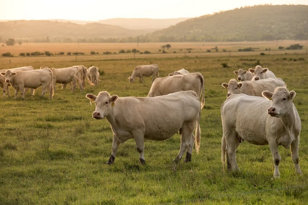alimentacion-vacas-dadelosagricola.com